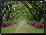 A Beautiful Pathway Lined with Trees and Purple Azaleas Framed Canvas Print by Sam Abell