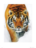 Tiger Snow Posters