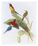 Nectarinia Gouldiae Prints by Aaron Ashley