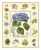 Bontanica Hydrangea Posters by Petula Stone