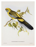 Platycercus Derbianus Prints by Aaron Ashley
