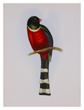 Trogon Mexicanus Posters by Aaron Ashley