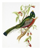 Trogon Ambiguus Prints by Aaron Ashley