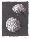 Hydrangea Bouquets Poster by Judy Mandolf