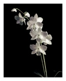 Orchid Study III Prints by Dianne Poinski