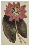 Wonderous Water Lily Prints by Robert Sweet
