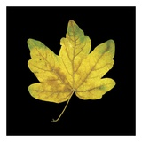 Yellow Maple Prints by June Hunter