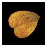 Katsura Leaf on Black Plakater af June Hunter