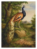 Classic Peacock Prints by Unknown 