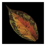 Cherry Leaf on Black Posters af June Hunter