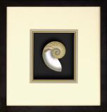 Natural Nautilus III Dimensional Product