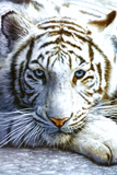 White Tiger Psteres