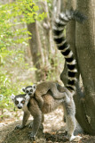 Ring Tailed Lemur Prints