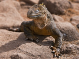 Galapagos Islands, a Land Iguana on North Seymour Island Photographic Print by Nigel Pavitt