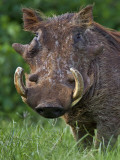 A Battle-Scared Male Warthog in the Salient of the Aberdare National Park Photographic Print by Nigel Pavitt