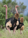 Two Male Maasai Ostriches in Breeding Plumage in Kenya S Tsavo West National Park Photographic Print by Nigel Pavitt