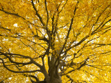 Beech Tree in Autumn, Surrey, England Photographic Print by Jon Arnold