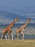 Reticulated Giraffes; Mweiga, Solio, Kenya Photographic Print by Nigel Pavitt