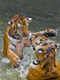 Tigers Play Fighting in Water, Indochinese Tiger or Corbett's Tiger (Panthera Tigris Corbetti) Photographic Print by Peter Adams