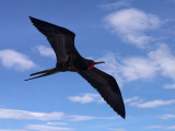Galapagos Islands, a Magnificent Frigatebird in Flight Off Bartolome Island Photographic Print by Nigel Pavitt