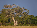 As Dusk Approaches, Marabou Storks Roost in Large Wild Fig Tree Near the Mara River Photographic Print by Nigel Pavitt