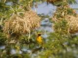 Kenya, Laikipia, Lewa Downs; Speke's Weaver Perched Beside a Colony of Nests Photographie par John Warburton-lee