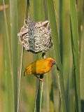 An African Golden Weaver at its Nest Near Soni in the Western Arc of the Usambara Mountains Photographie par Nigel Pavitt