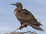 Galapagos Islands, a Red-Footed Booby on Genovese Island Photographie par Nigel Pavitt