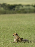 Kenya, Masai Mara; a Cheetah Looks Out over the Plains Photographic Print by John Warburton-lee