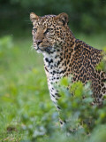 Kenya, a Fine Female Leopard the Aberdare National Park Photographic Print by Nigel Pavitt