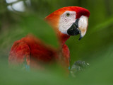 Peru; a Brilliant Scarlet Macaw in the Tropical Forest of the Amazon Basin Photographic Print by Nigel Pavitt