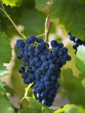 Australia, Western Australia, Swan Valley, Guildford; Shiraz Grapes in Swan Valley Vineyard Photographic Print by Andrew Watson