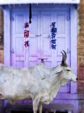 Cow in Doorway, Jodhpur, Rajasthan, India Photographic Print by Peter Adams