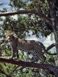 A Fine Leopard in the Cedar Forests Near Maralal Photographic Print by Nigel Pavitt