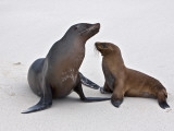 Galapagos Islands, Galapagos Sea Lions on the Sandy Beach of Espanola Island Photographic Print by Nigel Pavitt