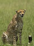 Kenya, Masai Mara; a Cheetah Watches over Her Plains Photographic Print by John Warburton-lee