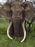 Kenya, Chyulu Hills, Ol Donyo Wuas; a Bull Elephant with Massive Tusks Browses in the Bush Fotografie-Druck von John Warburton-lee