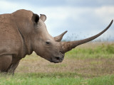 A White Rhino with a Very Long Horn; Mweiga, Solio, Kenya Photographic Print by Nigel Pavitt