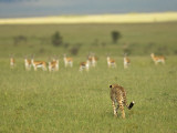 Kenya, Masai Mara; a Female Cheetah Stalks a Herd of Thomson&#39;s Gazelle on the Savannah Photographic Print by John Warburton-lee