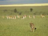 Kenya, Masai Mara; a Female Cheetah Stalks a Herd of Thomson's Gazelle on the Savannah Photographic Print by John Warburton-lee
