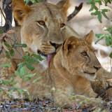 A Lioness and Cub in Selous Game Reserve Fotografie-Druck von Nigel Pavitt