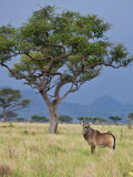 A Roan Antelope in the Lambwe Valley of Ruma National Park Photographic Print by Nigel Pavitt
