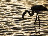 Namibia  Walvis Bay; Flamingo Filter Feeding in Walvis Bay Lagoon at Sunset