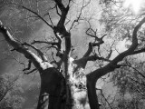 Mark Hannaford - Malawi, Upper Shire Valley, Liwonde National Park; the Spreading Branches of a Massive Baobab Tree Fotografická reprodukce
