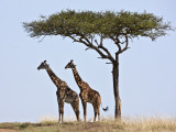 Maasai Giraffes Shade Themselves Beneath a Balanites Tree at the Masai Mara National Reserve Photographic Print by Nigel Pavitt