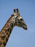 Kenya, Masai Mara; Masai Giraffe Photographic Print by John Warburton-lee