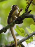 Peru; a Squirrel Monkey on the Banks of the Madre De Dios River Photographic Print by Nigel Pavitt