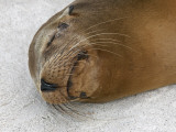 Galapagos Islands, a Galapagos Sea Lion Sleeps on the Sandy Beach of Espanola Island Photographic Print by Nigel Pavitt
