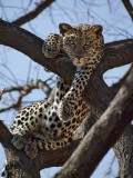 A Leopard Gazes Intently from a Comfortable Perch in a Tree in Samburu National Reserve Fotografisk tryk af Nigel Pavitt