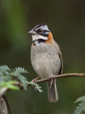 Peru, a Rufous-Collared Sparrow Photographic Print by Nigel Pavitt